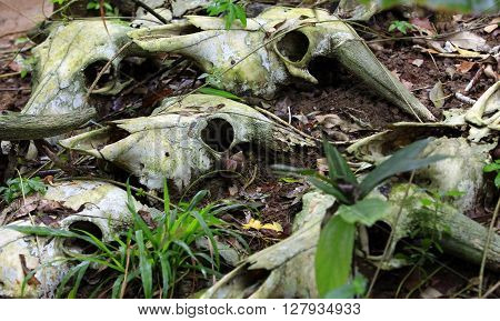 The skulls of dead cows in the forest. China