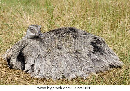 Female Emu lying on her nest