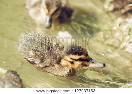 Mallard Ducklings – Anas Platyrhynchos – In The Water, Detailed Natural Scene