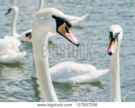 Close Up Photo Of Swans – Cygnus, Birds Scene