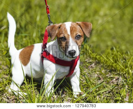 a walk in the park funny cute little dog in a leash - harness