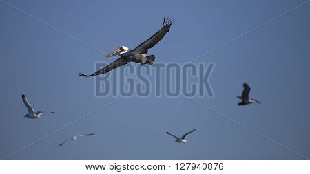 Flying Pelican with the seaguls around him