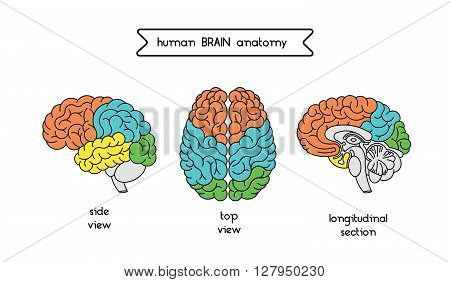 Medical illustration of human brain. Human brain illustration made in vector in lineal flat style. Isolated brain top view side view and section. Vector human cerebrum illustration.