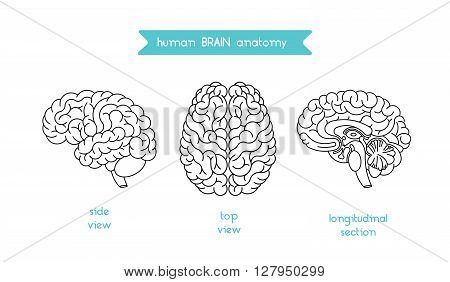 Human brain logo. Vector logo of human brain view. Brain outline logo for medical design or education. Vector logo brain isolated on white. Isolated brain top view side view and section.