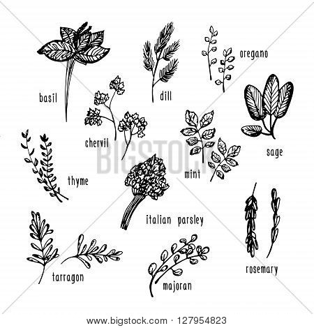 Vector hand drawn set with culinary herbs and spices. Sketch illustration for use in menu etc.