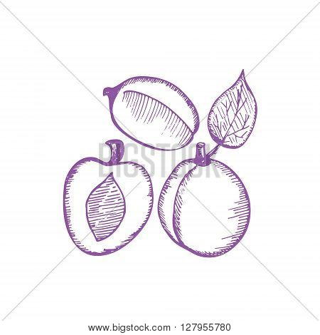 Plums hand drawing vector illustration from sketch. Plums ink set