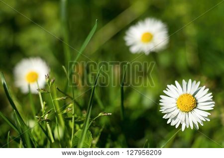 Three daisies on green grass at sunrise