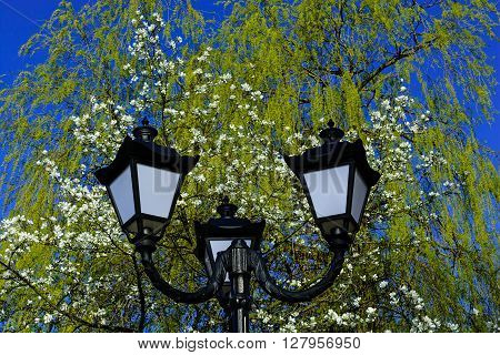 Old street lamppost against blossom white magnolia tree and blue sky background in the park