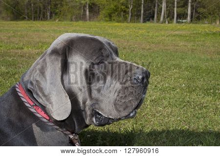 Purebred Great Dane with a gray coat on a grassy field