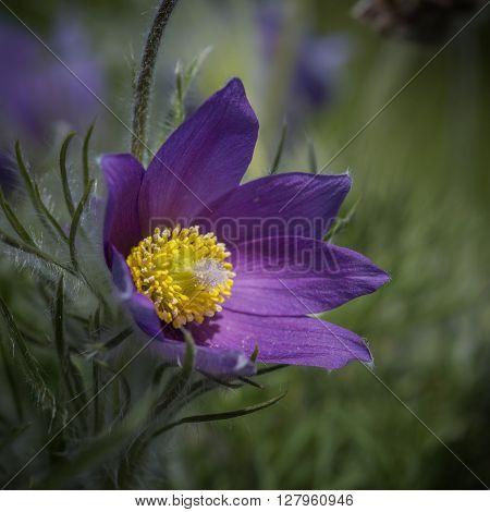Stunning Macro Image Of Pulsatilla Vulgaris Flower In Bloom