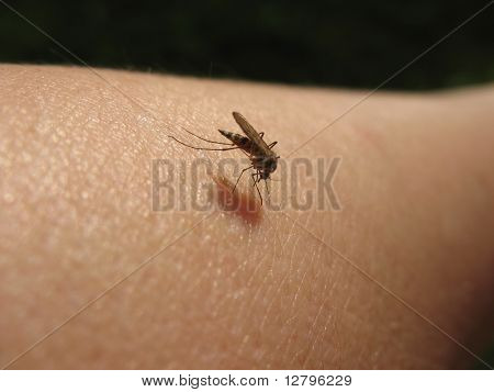 Bloodsucking mosquitoes (Culicidae) on a victim. Macro