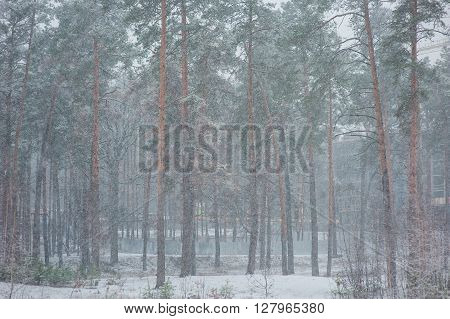 Forest in winter covered by snow holyday concept