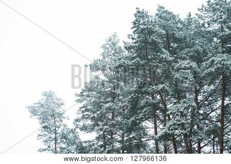 winter forest on a white background holyday concept