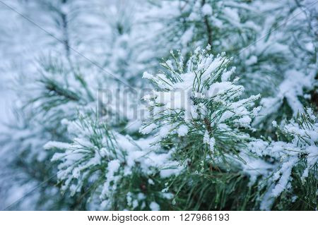 Coniferous branches covered with hoarfrost. Close up.