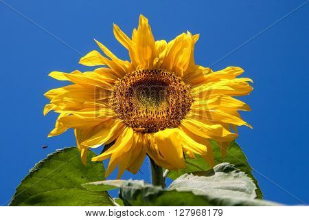 Sunflower against the blue sky in a summer day