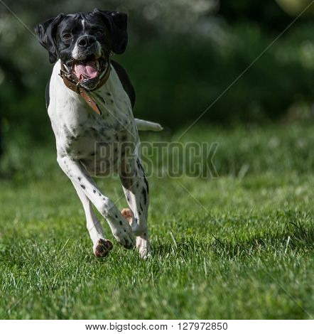 Running English Pointer dog at park .Selective focus