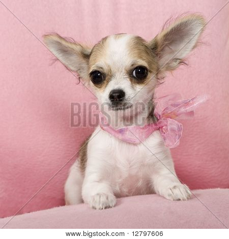 Chihuahua na frente de um fundo branco