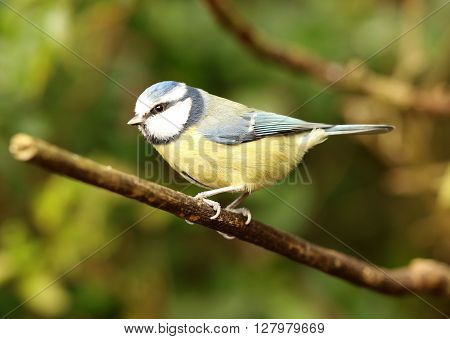 Close up of a Blue Tit in Spring