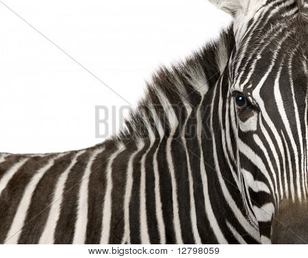 Zebra (4 years) in front of a white background
