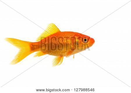 One single orange goldfish seen from the side isolated on a white background