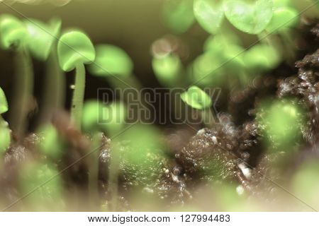 Spring background bokeh. Sprouted sprouts closeup shallow depth of field