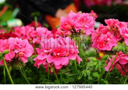 Beautiful pink geranium flower in the garden