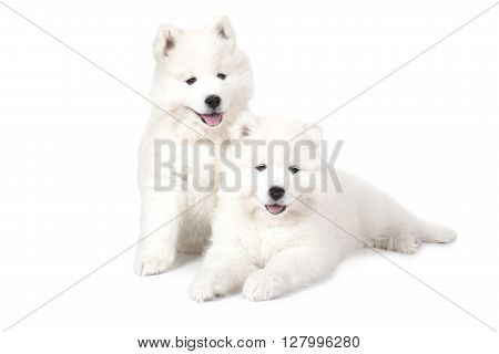 Seven months old two Samoyed puppies dog isolated on white background