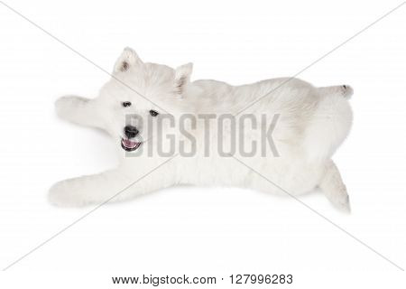 Overhead view photograph of Samoyed puppy lying over white