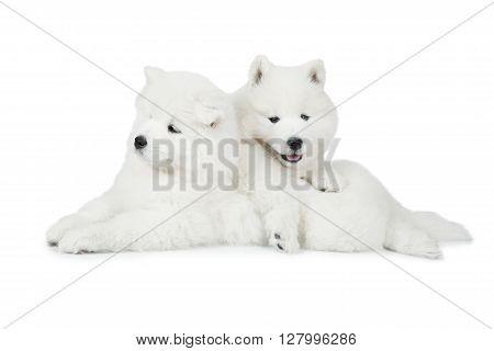 Two Samoyed puppies dog isolated on white background