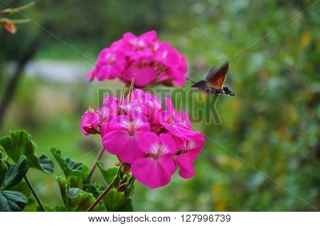 Hummingbird hawk-moth flying and drinking, near pelargonium
