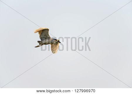 Adult Black-crowned Night-Heron gradually gaining altitude near Buzzards Bay