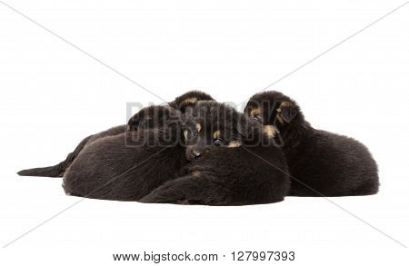 Group of German Shepherd puppies lying together, back view, isolated on white background