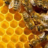 Makro arbeiten Biene auf Honeycells.