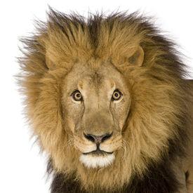 stock photo of lions-head  - Close - JPG