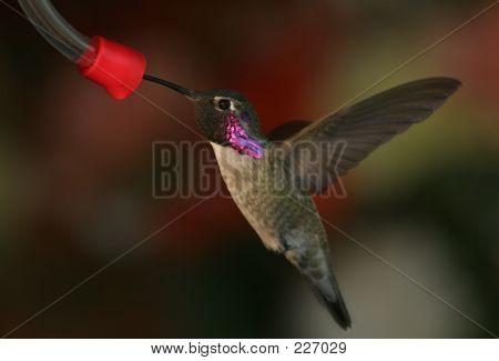 Hummingbirdatfeeder2
