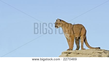 Cougar Against Blue Sky