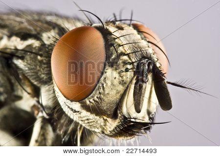 Cabeza de caballo volar con enorme ojo compuesto