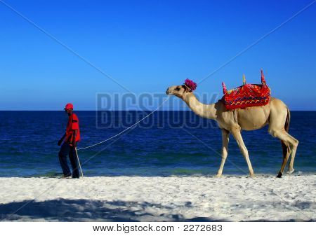 A Camel On The Beach