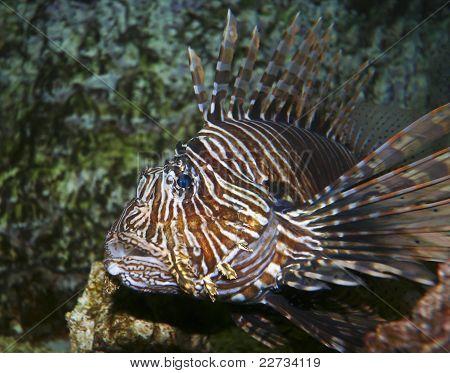 A Venomous Lionfish, Pterois, With Its Spiky Fins