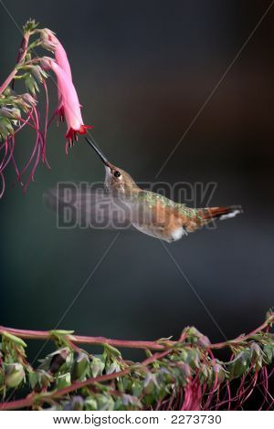 Rufous Hummingbird And Cape Fusia 1