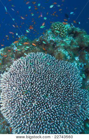 Coral Of Genus Acropora Pharaonis, Maldives