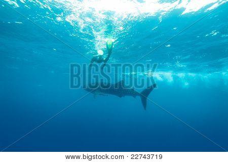 Whale Shark (rhincodon Typus), Maldives