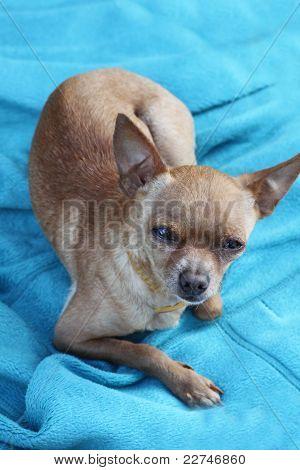 Heartfelt Look Of A Toy Terrier