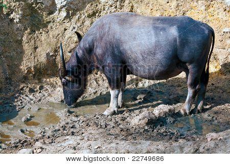 Water-bull drinking water