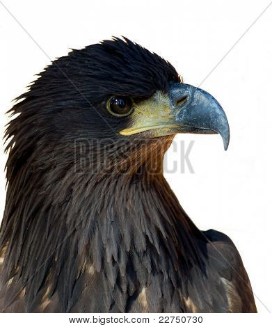 sea-eagle isolated