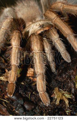 spider tribe Aviculariinae