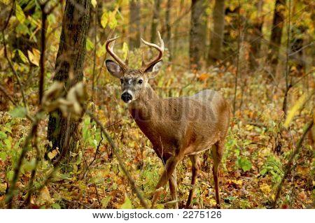 Buck 12