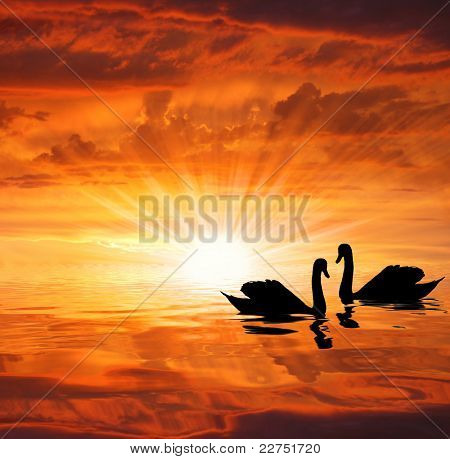 the silhouettes swans under the sun
