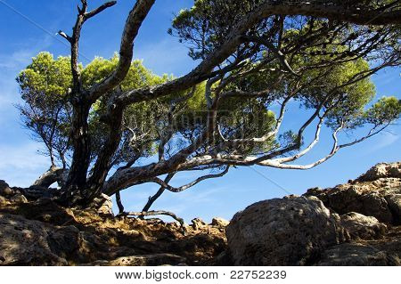 Mediterranean Pines Lying Because Of Wind I