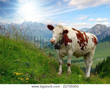 cows in Swiss alps